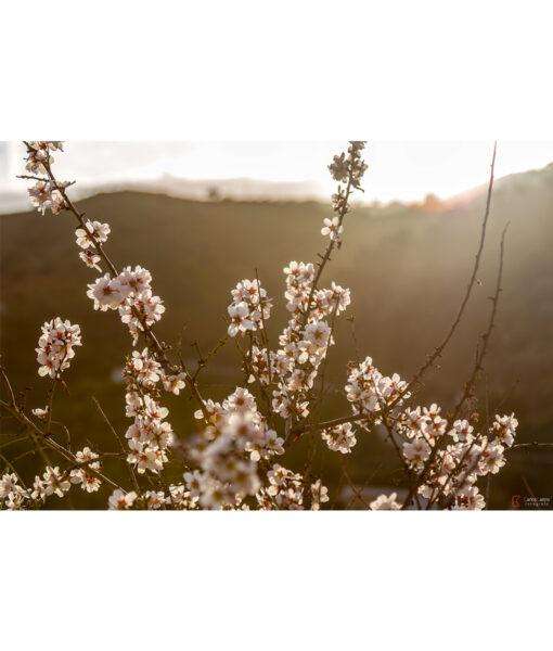 almendros-flor-axarquia